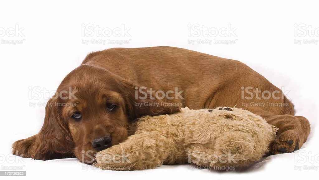 Red Setter Puppy and Teddy royalty-free stock photo