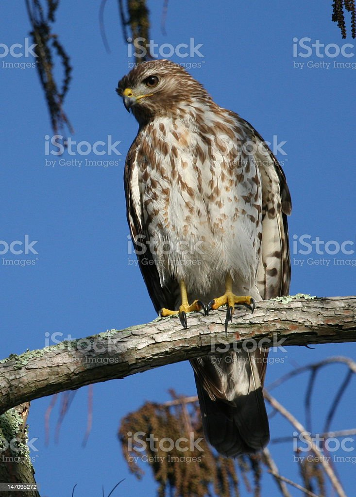 Red Sholdered Hawk stock photo