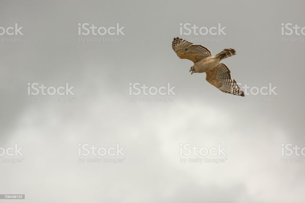 Red shouldered hawk flying in a cloudy sky in Florida. stock photo