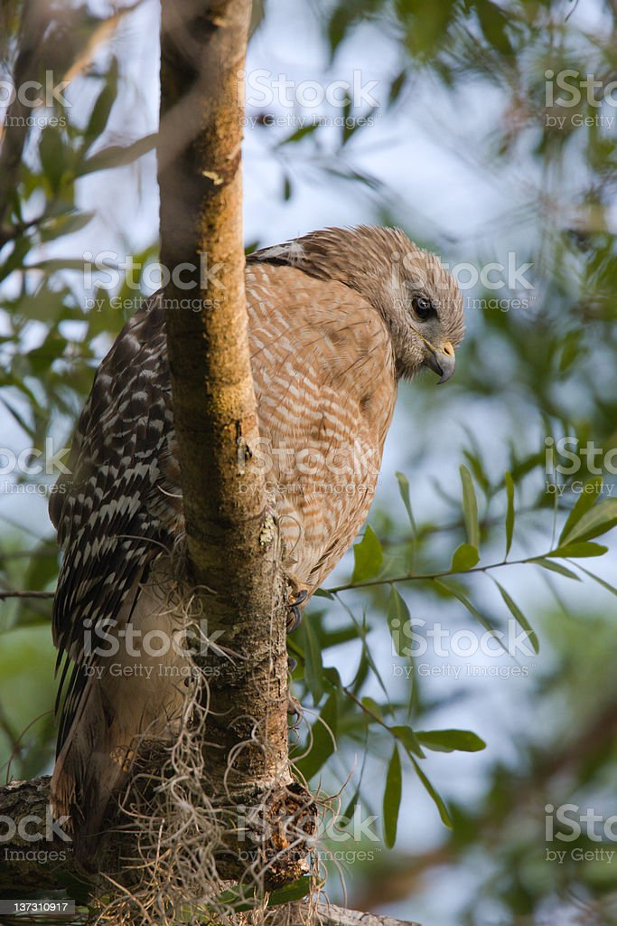 Red Shouldered Hawk royalty-free stock photo