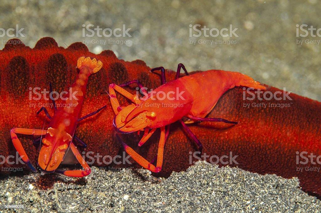 Red shrimp stock photo