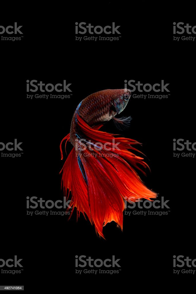Red siamese fighting fish isolated on black background. Betta fish stock photo