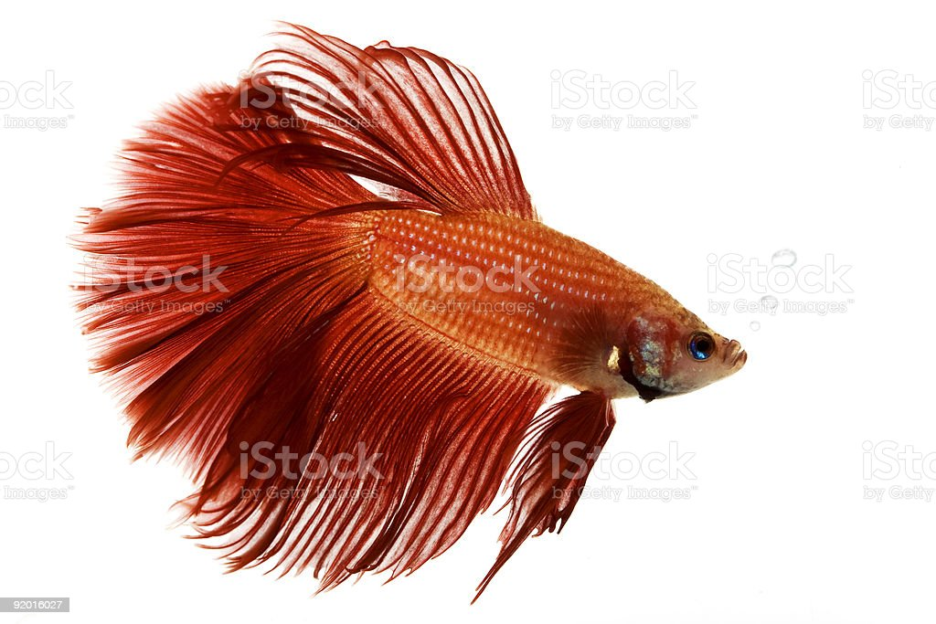 Red Siamese fighting fish on a white background stock photo