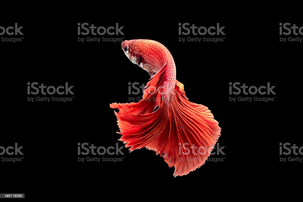 Red Siamese fighting fish on black background stock photo