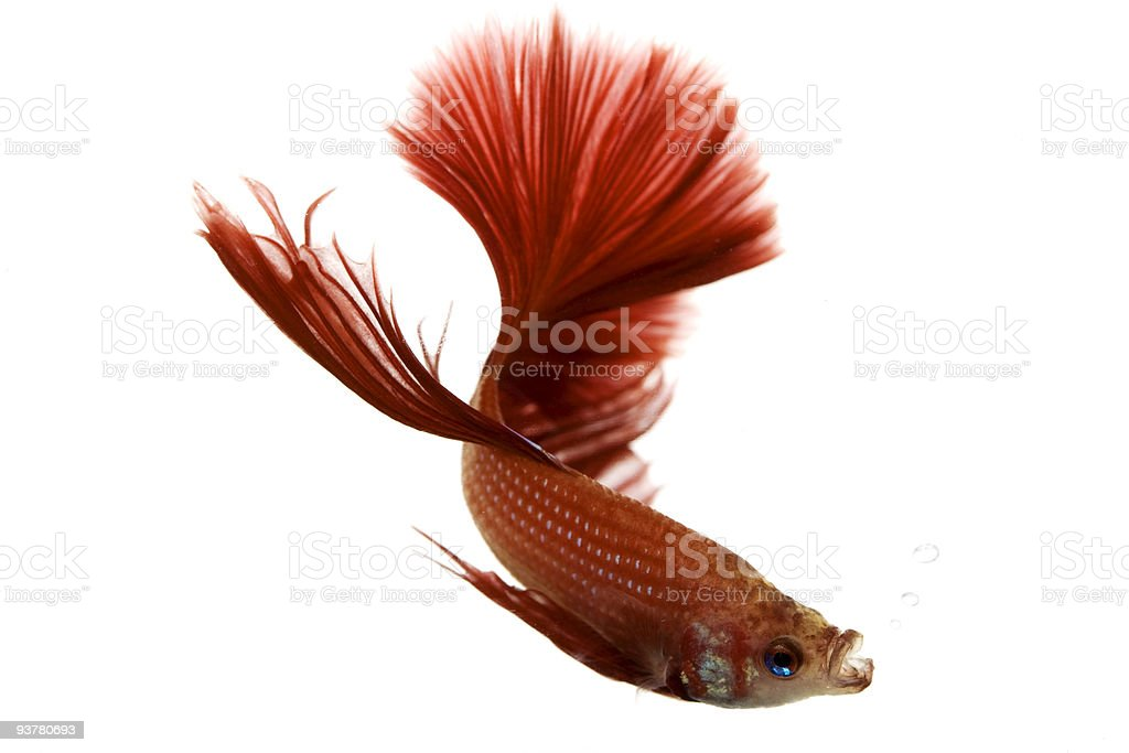 Red Siamese fighting fish royalty-free stock photo