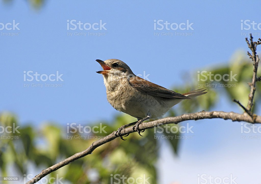 A red singing red-backed female shrike stock photo