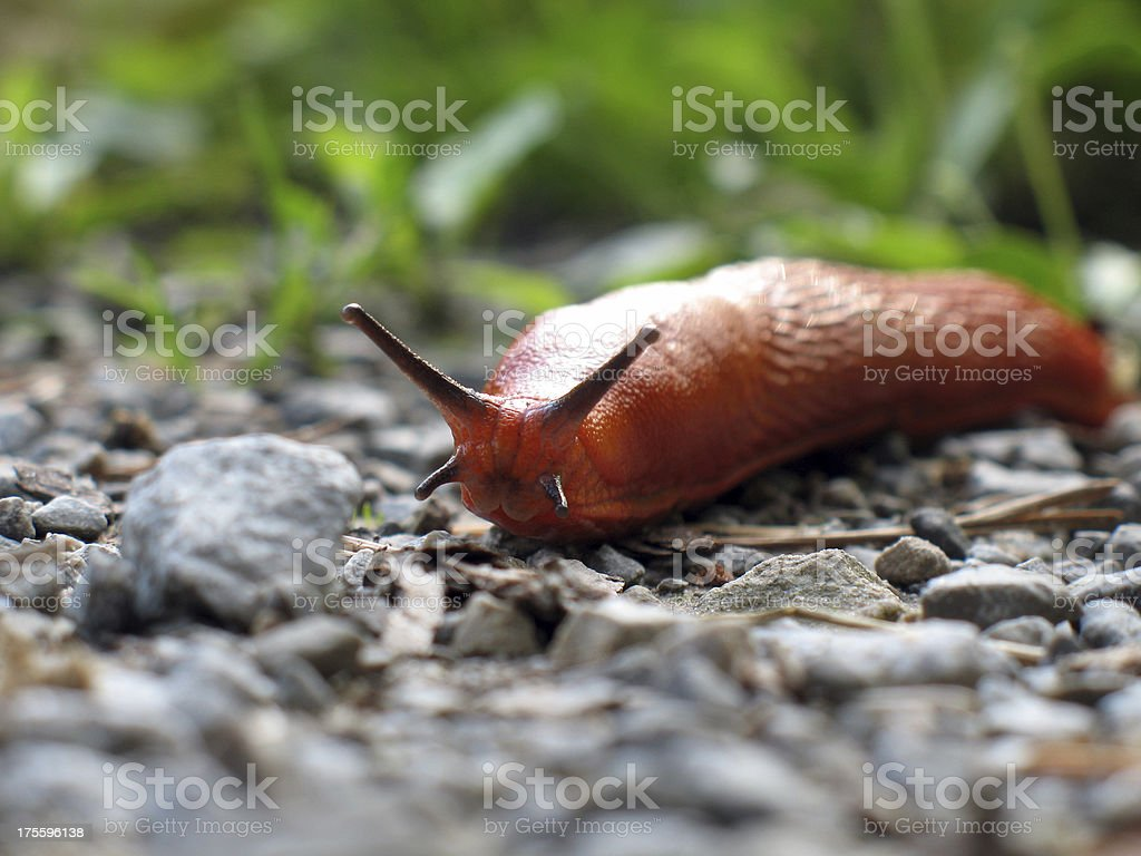 Red slug approaching stock photo