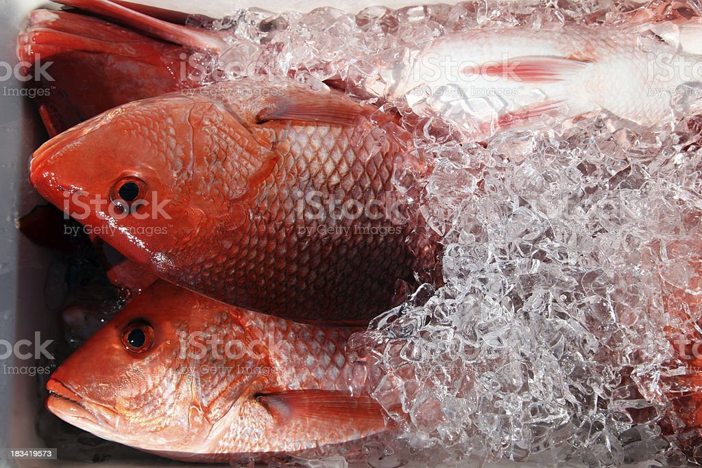 Red Snapper Fish from Fishing Vacation on Ice stock photo
