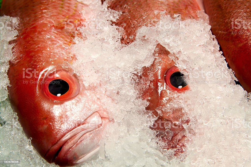 red snapper fish royalty-free stock photo