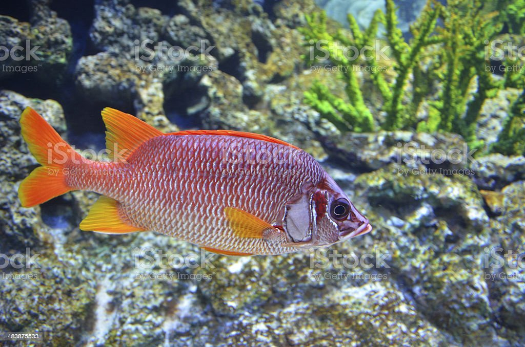Red snapper fish swims in the deep sea royalty-free stock photo