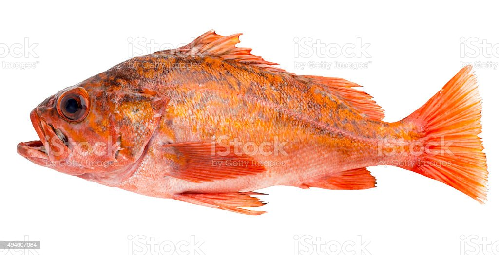 Red snapper ocean fish stock photo