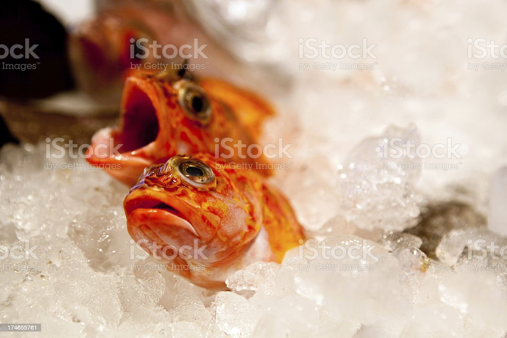 Red Snapper on ice royalty-free stock photo