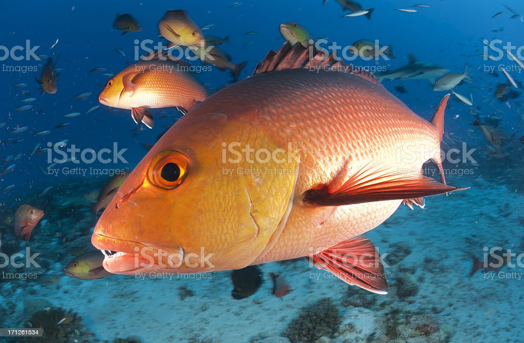 red snapper profile stock photo