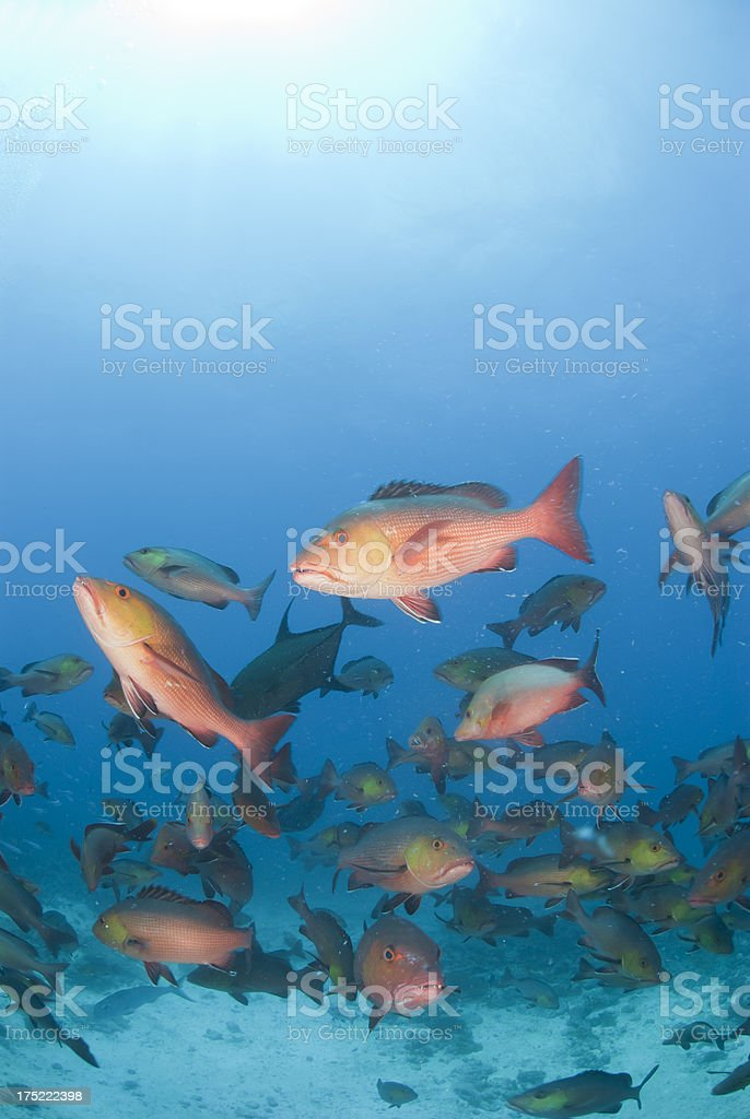 red snappers stock photo