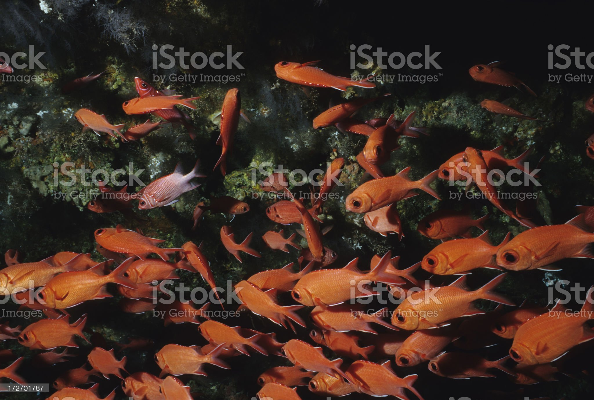 Red Soldier Fish royalty-free stock photo