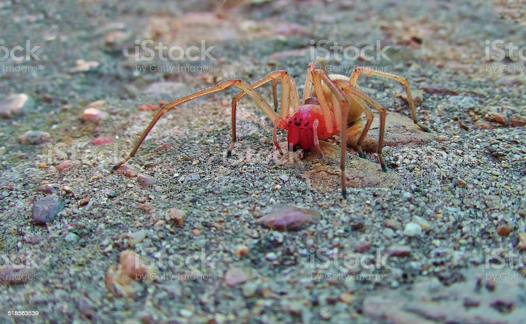 red spider royalty-free stock photo