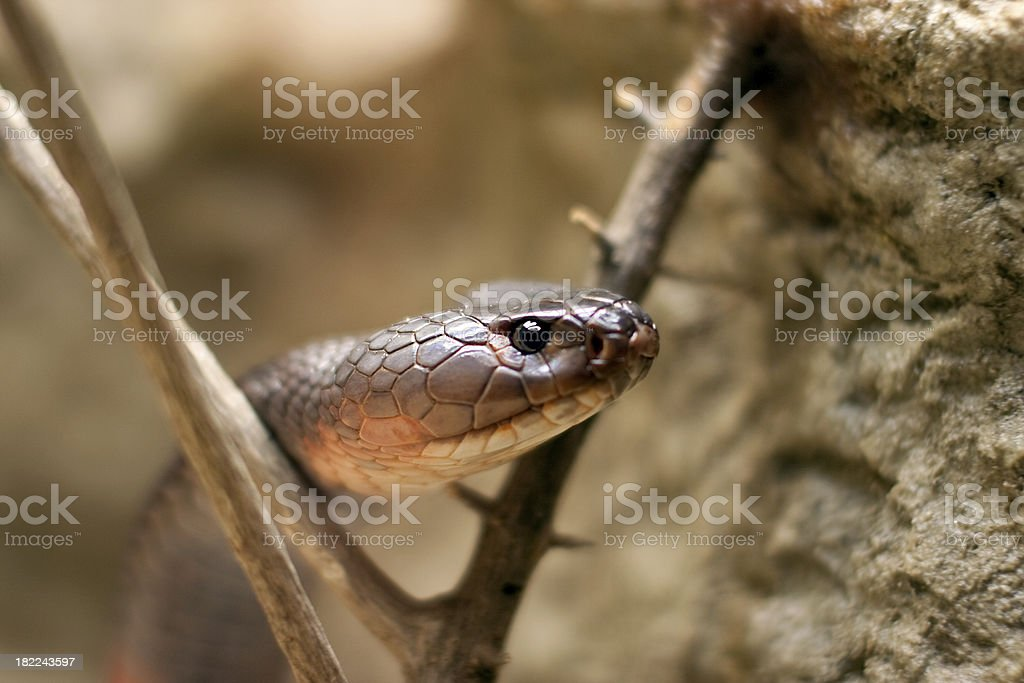 Red Spitting Cobra royalty-free stock photo