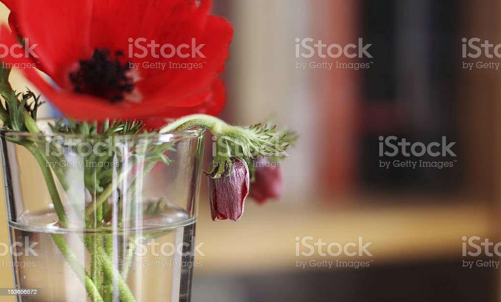 red spring flowers in a glass royalty-free stock photo