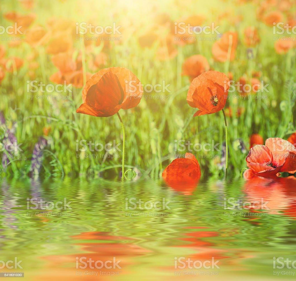 Red spring poppy stock photo
