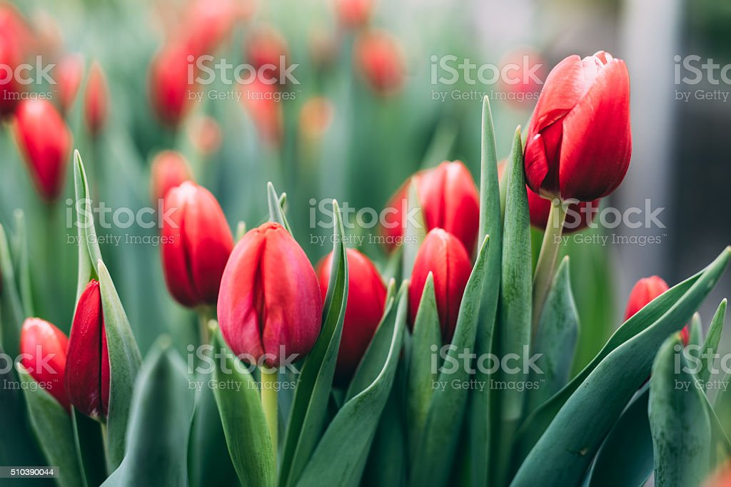 Red spring tulips stock photo