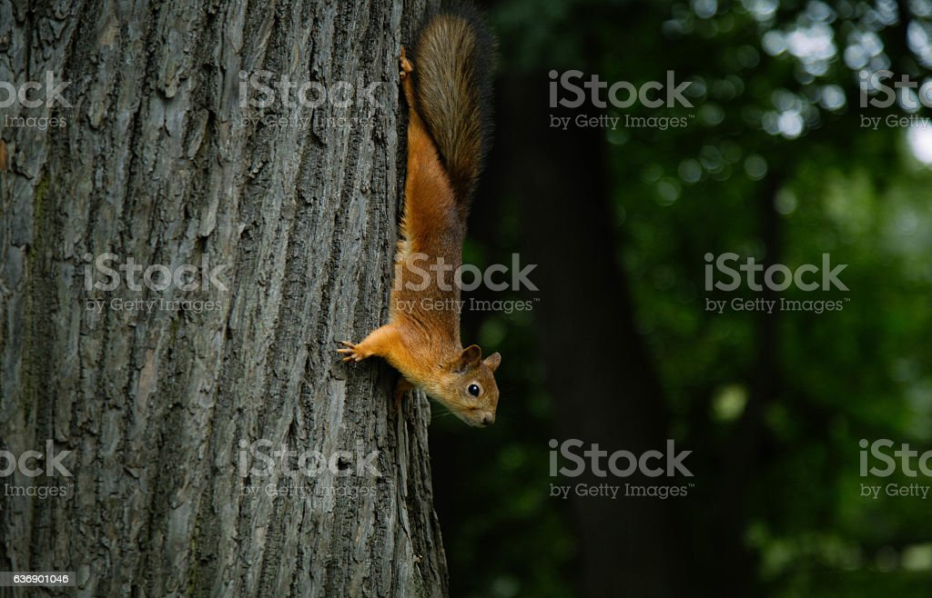 Red squirell close up Sciurus vulgaris stock photo