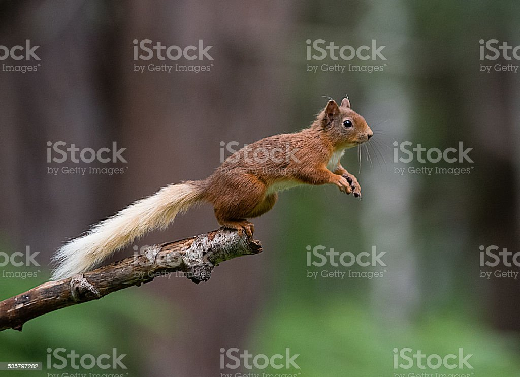 Red squirrel about to jump from tree branch stock photo