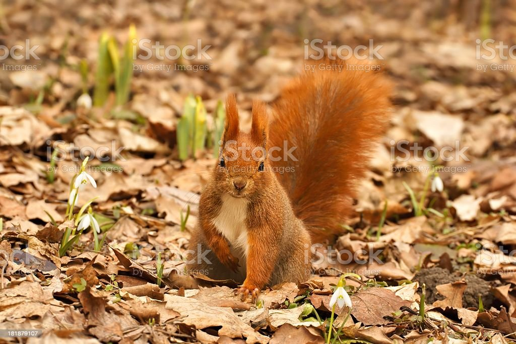 Red Squirrel (Sciurus vulgaris) and Snowdrops, Spring royalty-free stock photo