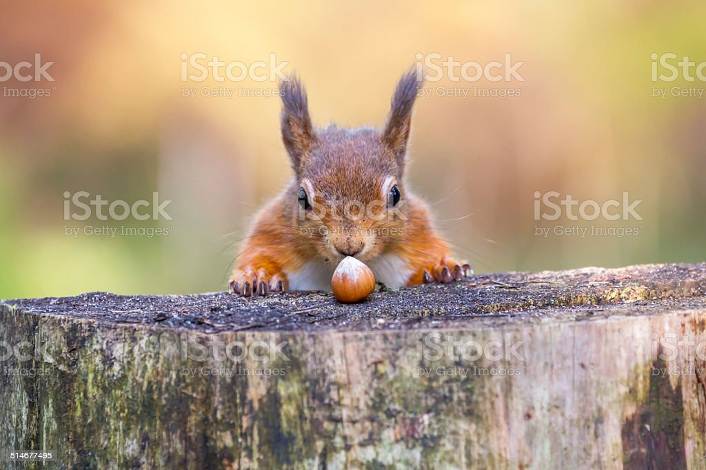 Red Squirrel can't believe his luck stock photo
