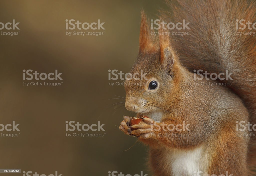 Red squirrel close-up royalty-free stock photo