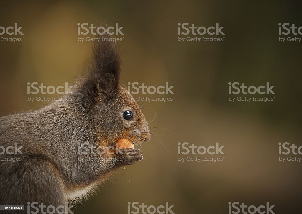 Red squirrel, darker colored royalty-free stock photo