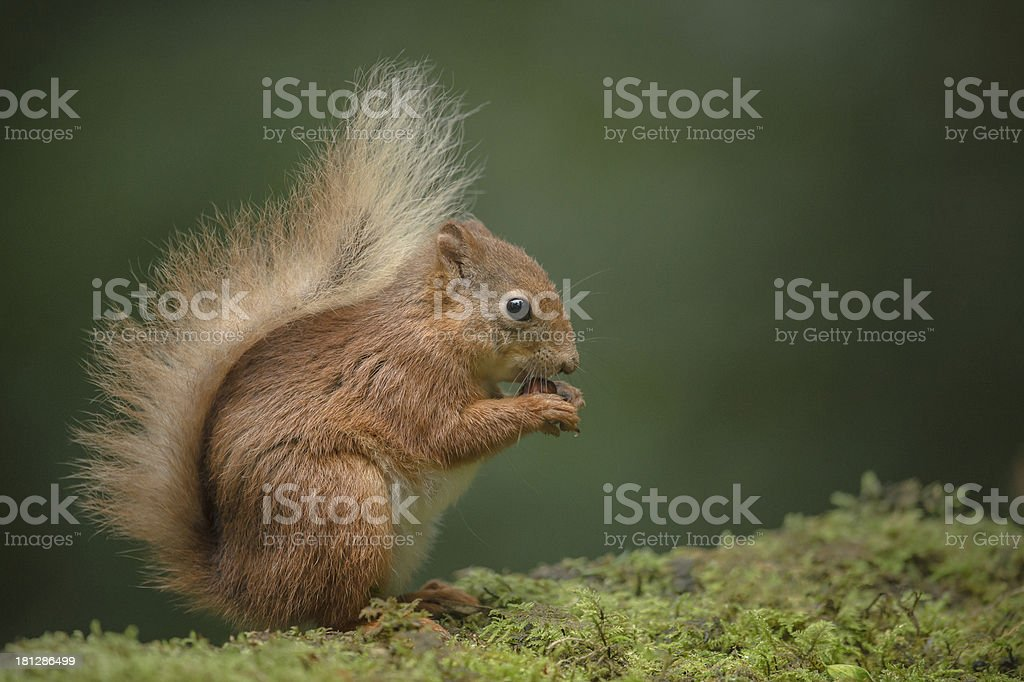 Red Squirrel eating. royalty-free stock photo