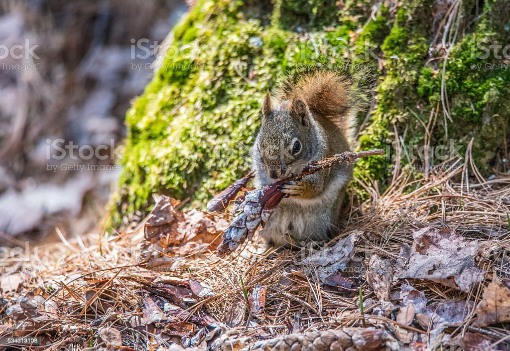 Red squirrel eating pine cone seeds, green moss background. stock photo