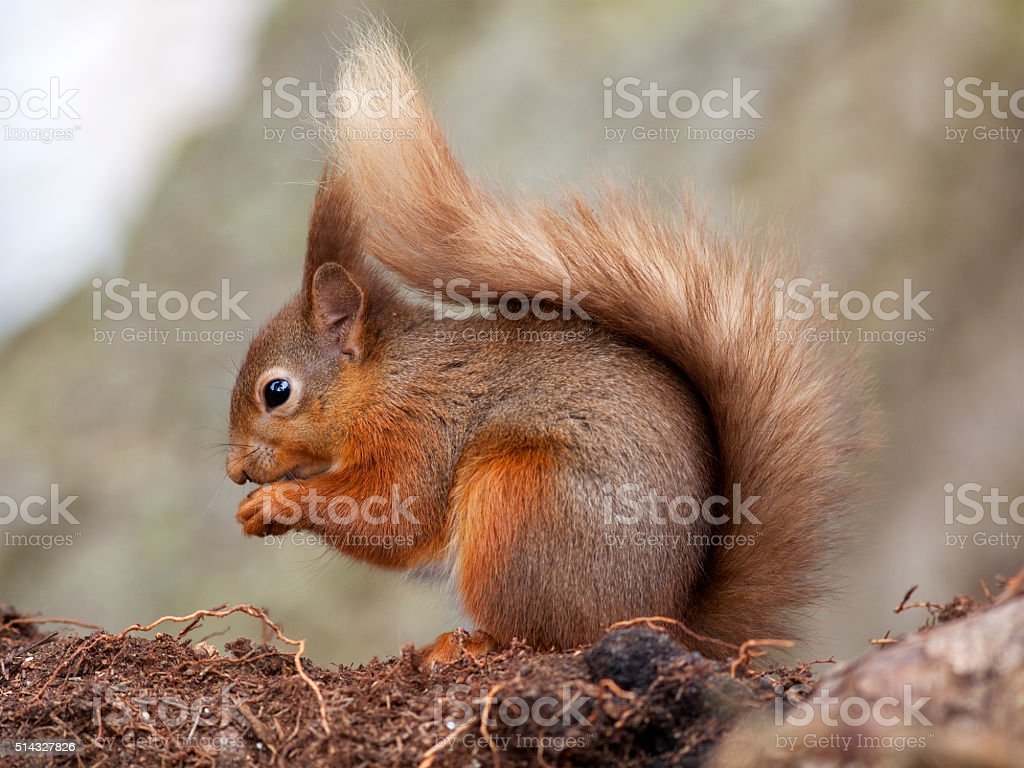 Red Squirrel (Sciurus vulgaris), England stock photo