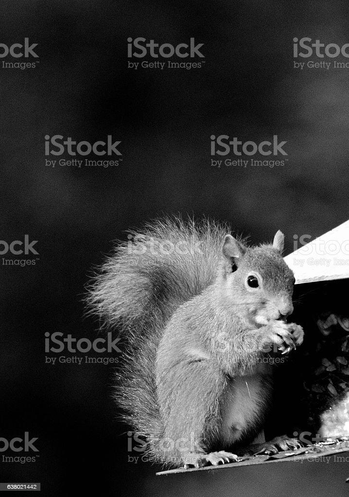 Red Squirrel feeding stock photo