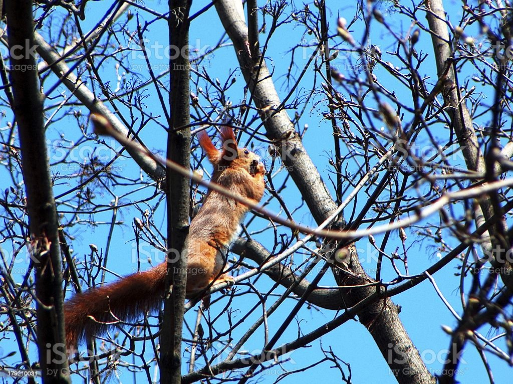 Red squirrel in a tree royalty-free stock photo