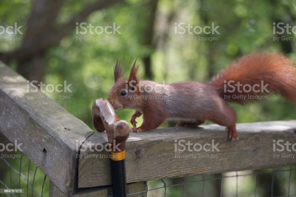 Red squirrel in english woodland stock photo