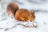 Red squirrel in Northumberland