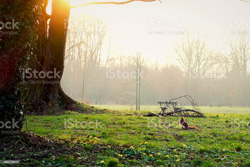 Red squirrel in park stock photo