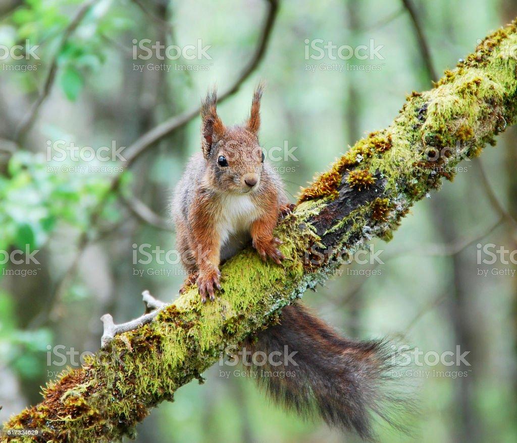 Ardilla roja en el bosque foto de stock libre de derechos