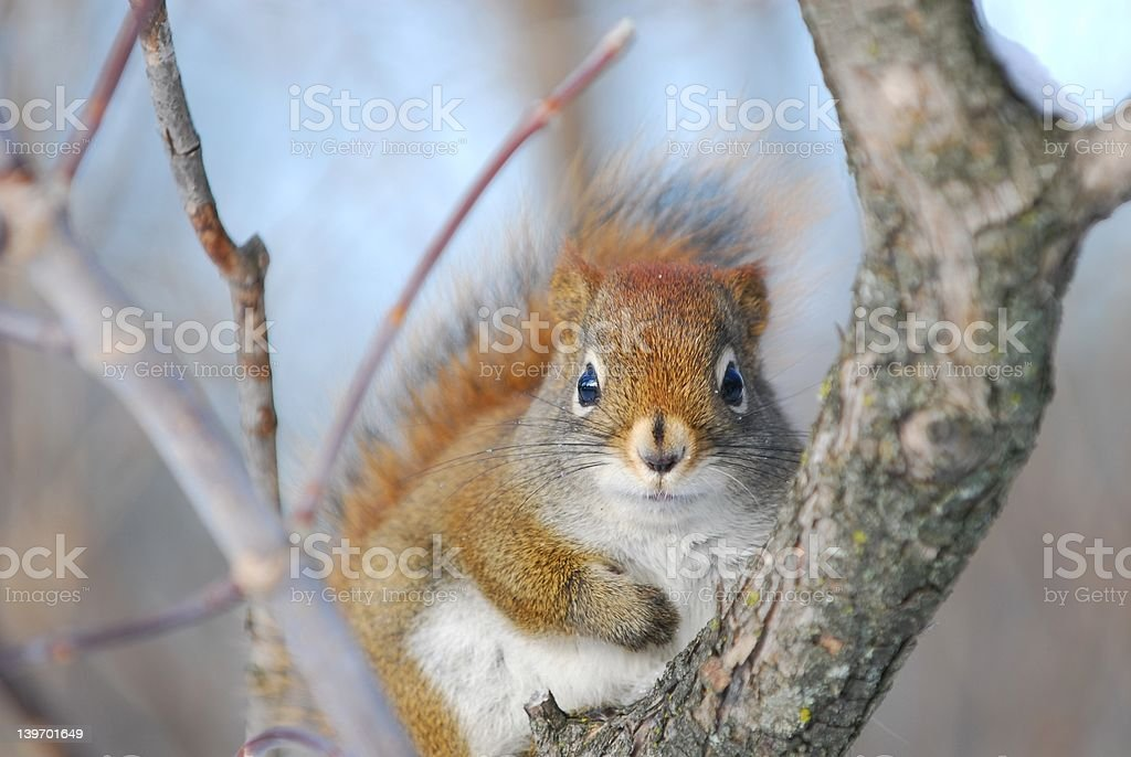 red squirrel in tree 2 stock photo