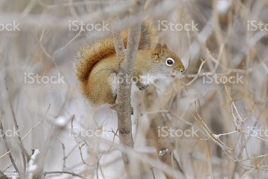 red squirrel in tree stock photo