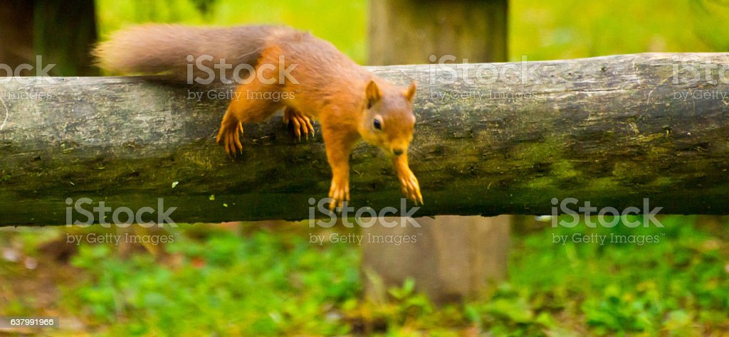 Red Squirrel jumping stock photo