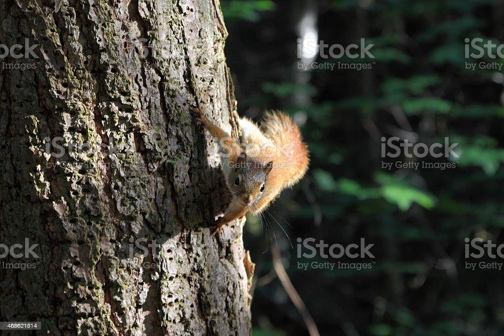 Red Squirrel Killarney Provincial Park stock photo