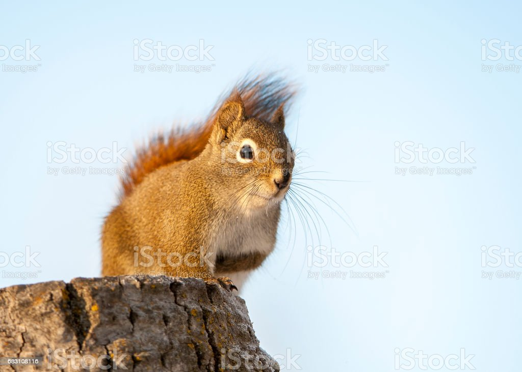 Red squirrel on stump looking for food in Alberta, Canada stock photo