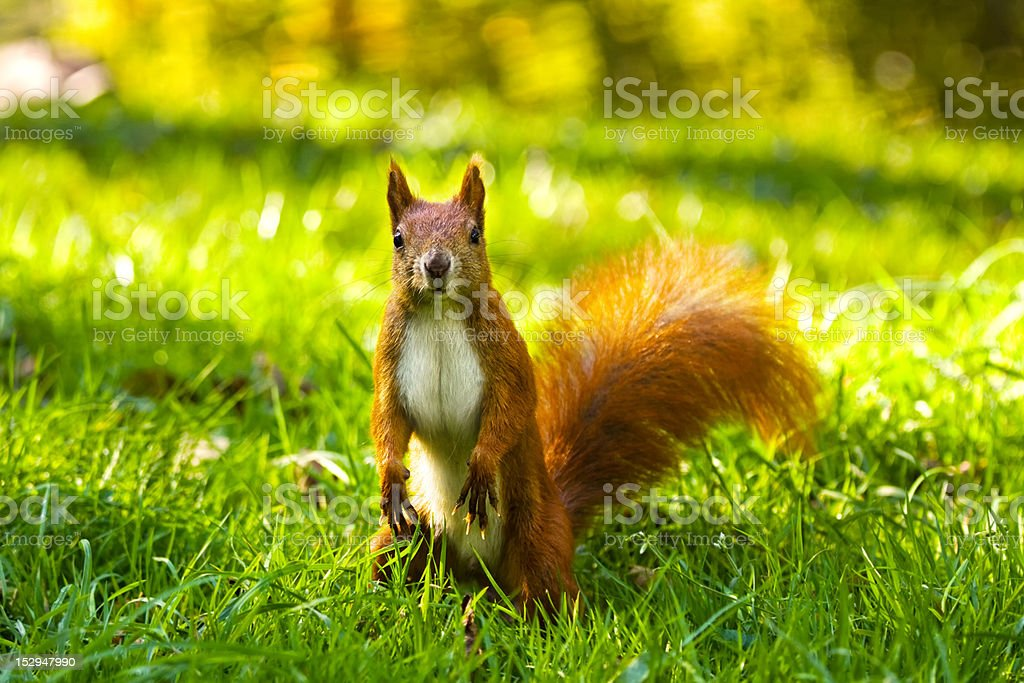 Red squirrel on the grass stock photo