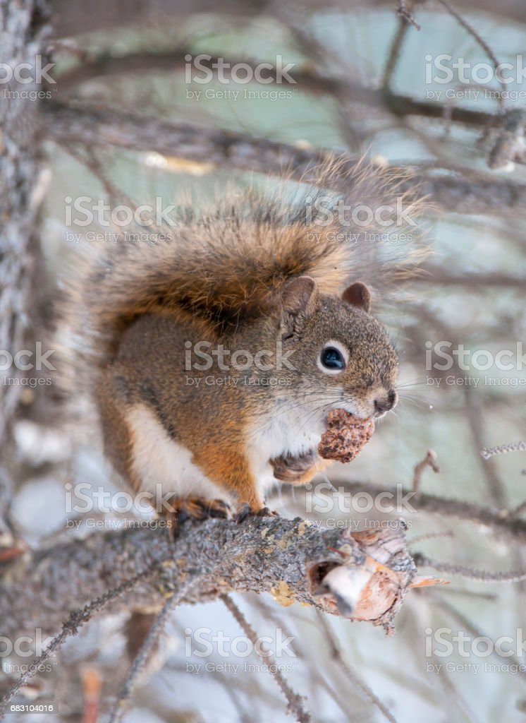 Red squirrel on tree limb with seed cone in Alberta, Canada stock photo