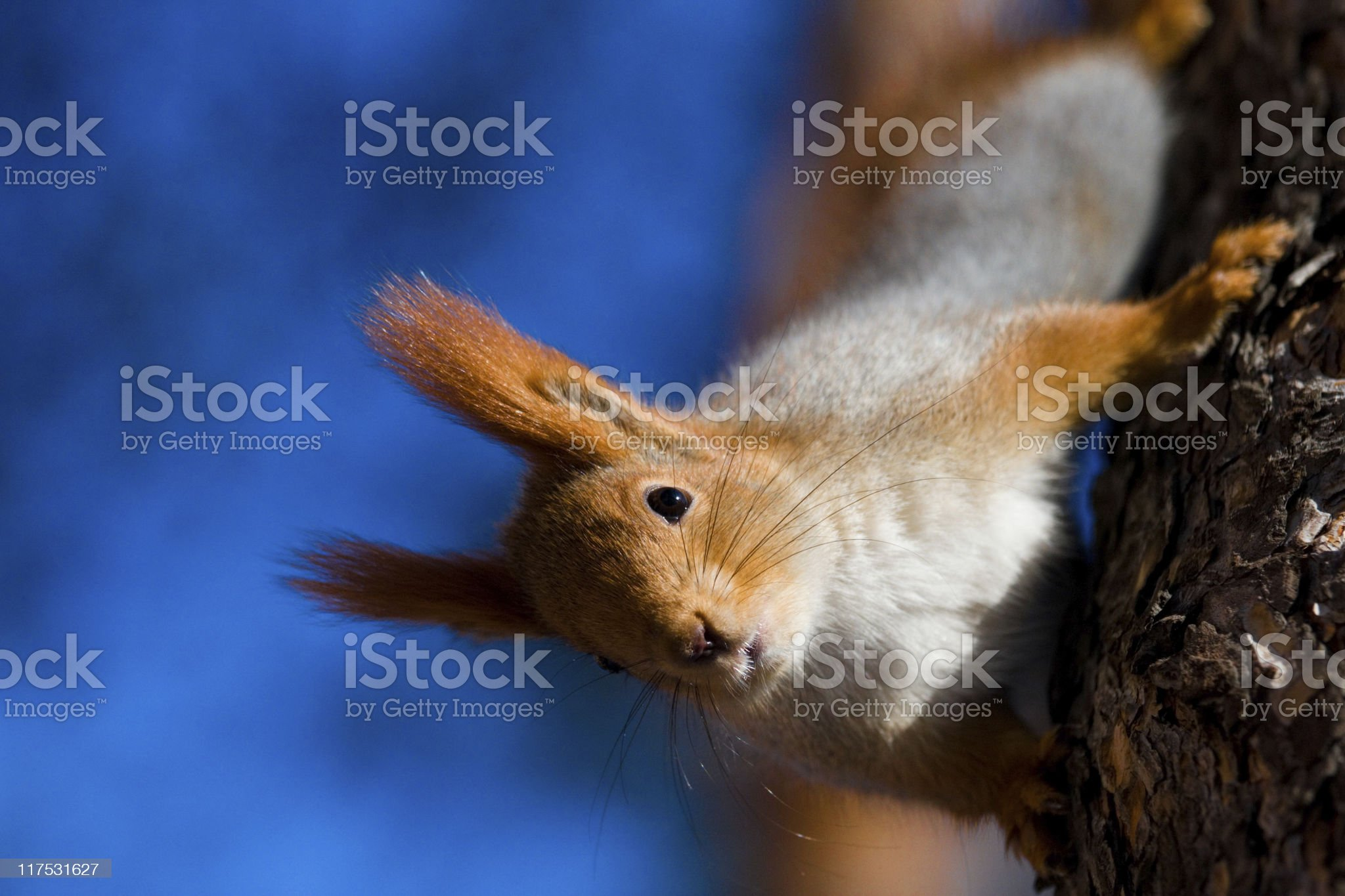 Red squirrel royalty-free stock photo