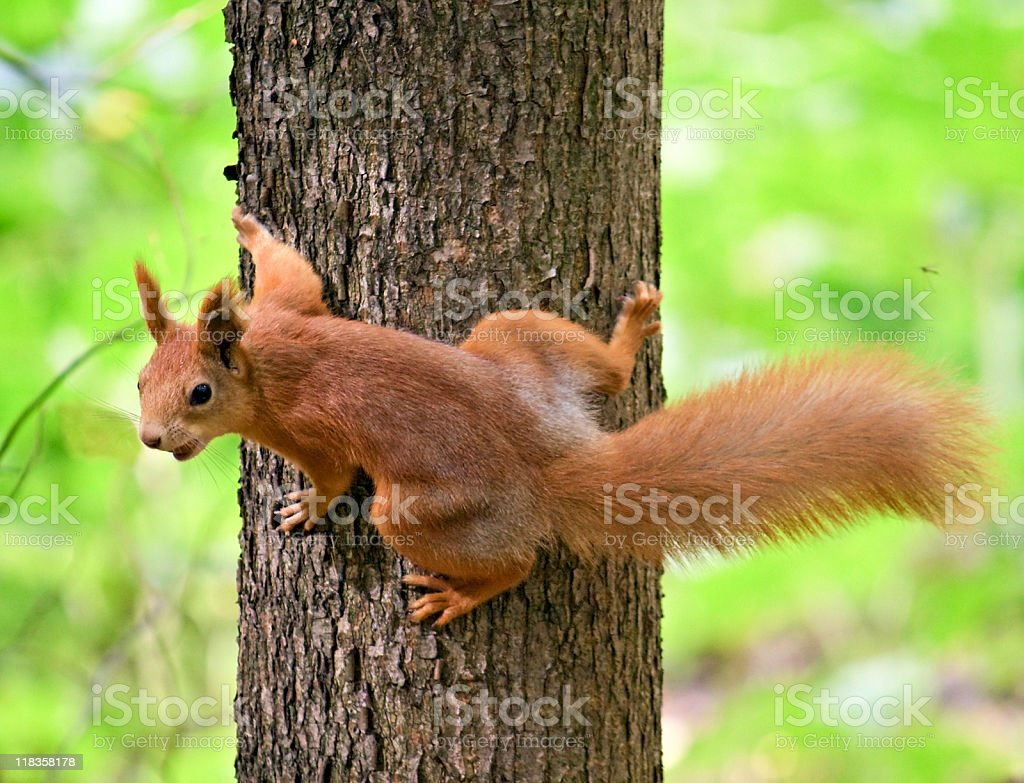 Red Squirrel stock photo
