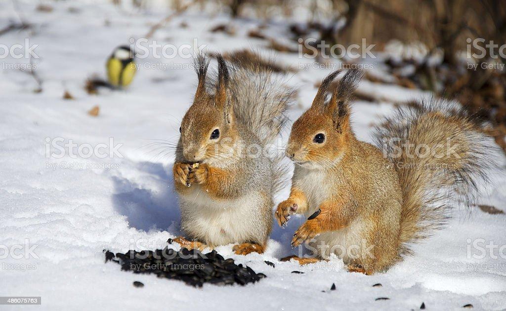 Esquilo vermelho foto de stock royalty-free