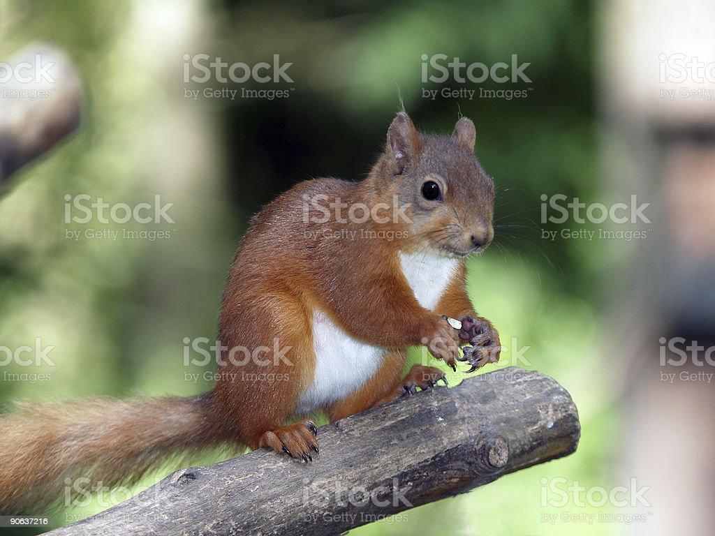 Red Squirrel (Sciurus vulgaris) royalty-free stock photo